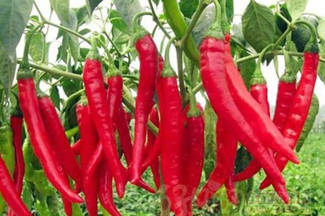 合肥辣椒大葱价格飙升 应季叶类蔬菜价格平稳