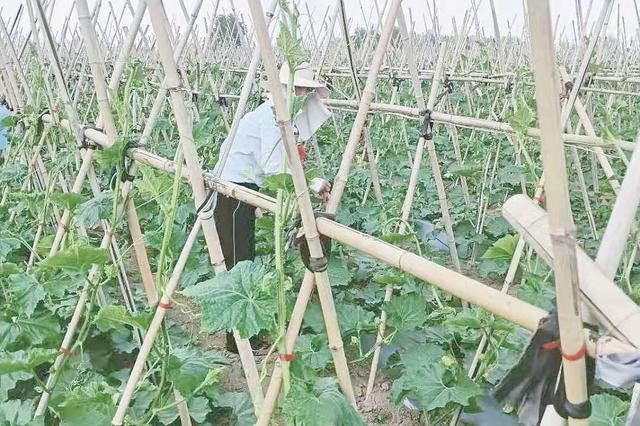 千亩黑皮冬瓜带群众致富