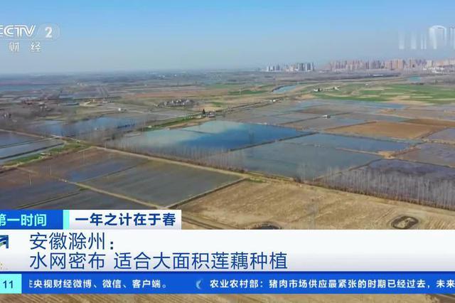 一年之计在于春 安徽滁州:水上农作忙 莲藕正采收