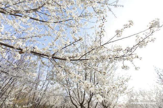 合肥长丰义井镇:樱花烂漫春意浓