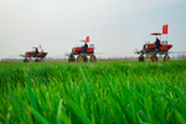 安徽五河:小麦田管正当时