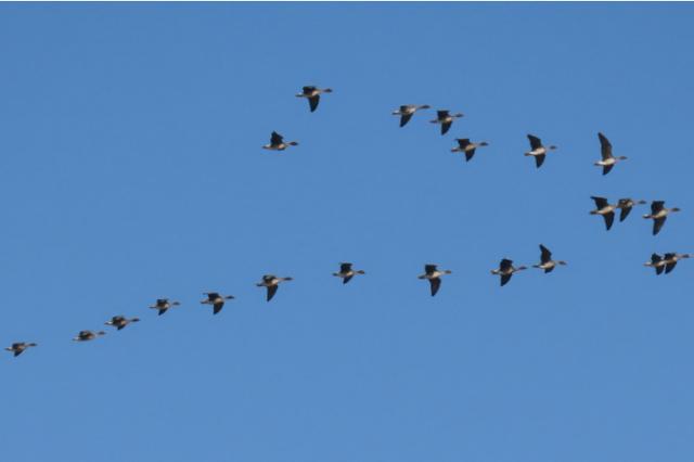 来安徽越冬候鸟数量创历史新高