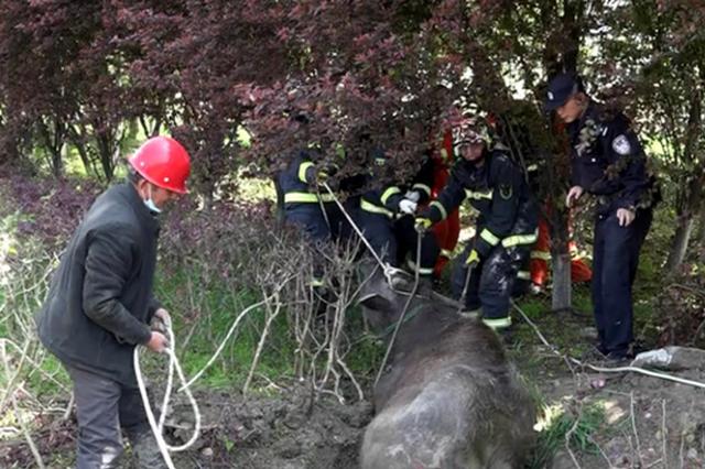 合肥管道井里惊现一头水牛 消防救援紧急出动