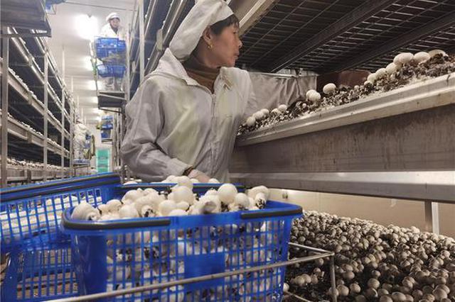 秸秆变废为宝 双孢菇里藏财富