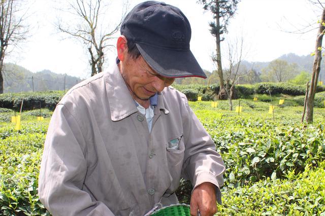 """休宁县:做好""""茶叶+""""文章 铺好产业振兴路"""