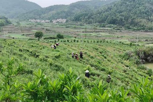 贵池区牌楼镇 打造茶叶之乡 助力乡村振兴
