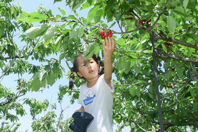 安徽肥东 樱桃红了 乡村热了