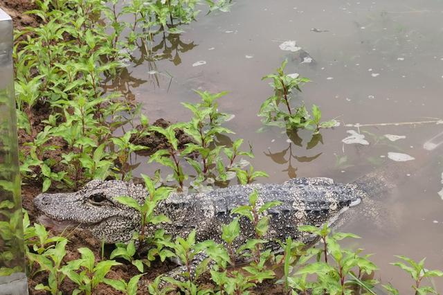 今年安徽将放归530条扬子鳄 规模为历年之最