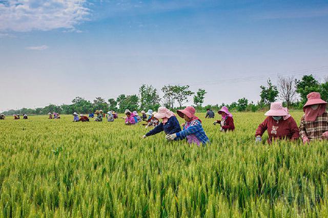 小麦抢收即将全面展开 安徽要求做好机收提质减损