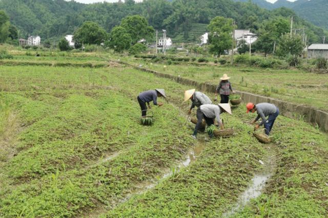 """黟县:""""订单农业""""签出产业好前景"""