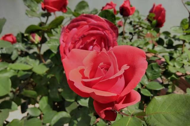 玫瑰绽放富民花