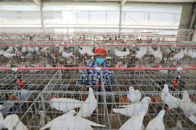 蛋鸽养殖拓宽致富路