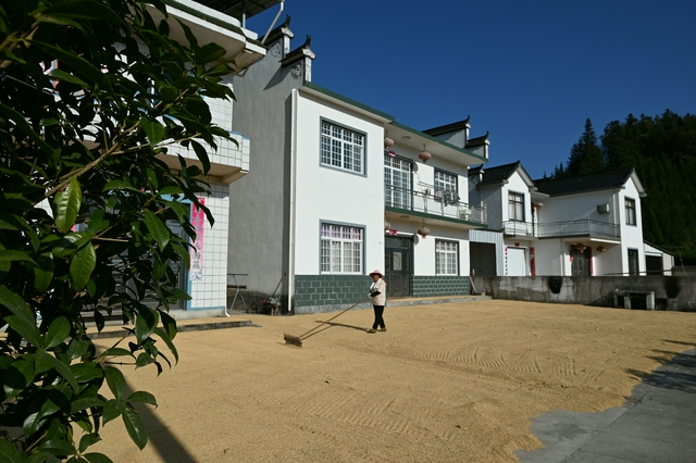 祁门县:收割彩色水稻 收获幸福生活