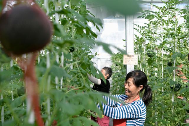 安徽合肥:盆栽西瓜满枝头 科技农业助丰收