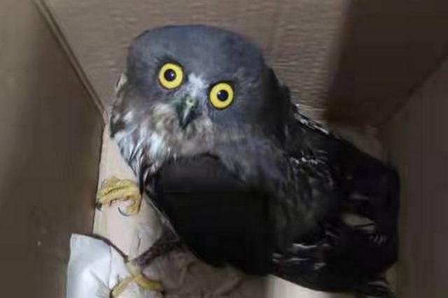 肥西校园内发现猫头鹰 经确认为国家二级保护动物鹰鸮