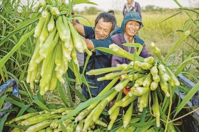 茭白喜丰收 农户笑开颜