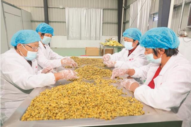 菊花产业助力乡村振兴