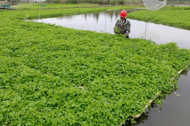 水上蔬菜 致富新路