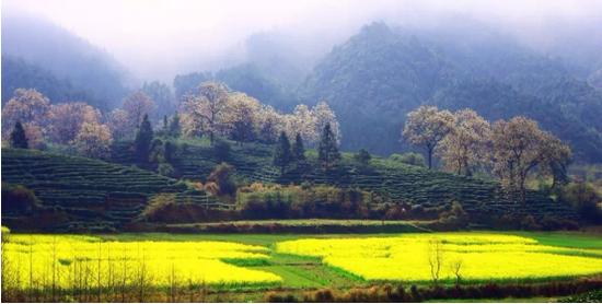 祁门县历口镇环沙村历口茶园(图片来源:祁门红茶资讯公众号)