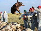 安徽省芜湖市:南陵县发生一起非洲猪瘟疫情