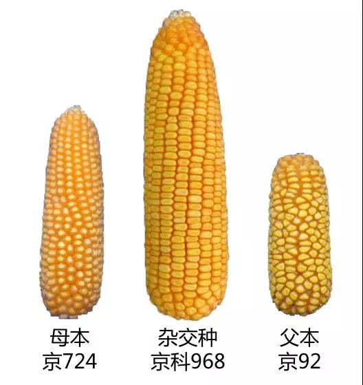 京科968:为中国玉米种业创造更多可能