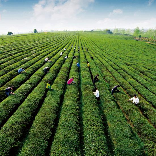 徽州区谢裕大茶博园种植区(图片来源:安徽省文化和旅游厅)