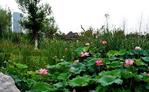武汉市沙湖公园的荷花(资料图)