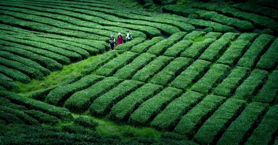 霍山县茶园春光(图片来源:安徽省文化和旅游厅)