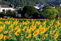 中秋齐云山南坑赏百亩向日葵