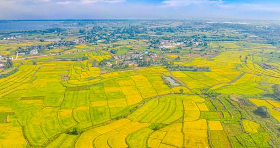 万亩金色稻田与美丽村庄辉映如画,秋粮丰收在望