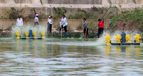 长临河镇施口社区环巢湖段,打捞人员冒着高温分离蓝藻