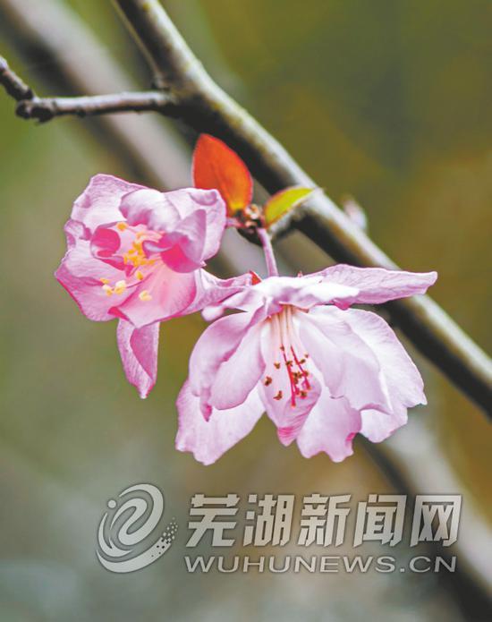 垂丝海棠开花