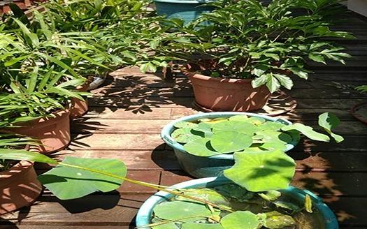 南艳湖公园技术人员精心培育的武汉碗莲茁壮生长