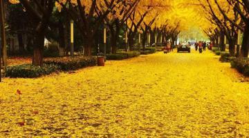 中国十大最美银杏观赏地之淮南
