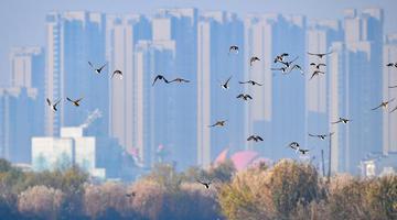 巢湖湿地 候鸟翩跹