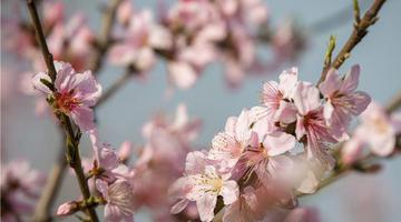 肥东县:桃花 油菜花盛开迎客来
