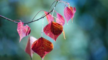 乌桕树叶红了