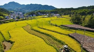 高山水稻丰收忙
