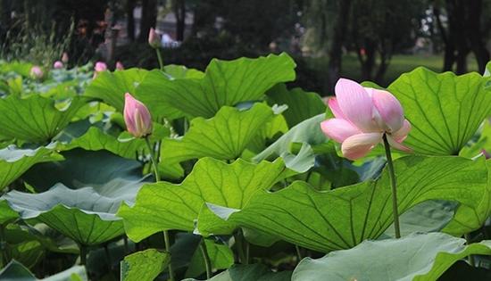 武汉市堤角公园的荷花(资料图)