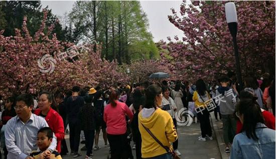 清明假期天气晴好,合肥市民前往科大观赏樱花。(图/张慧芬)