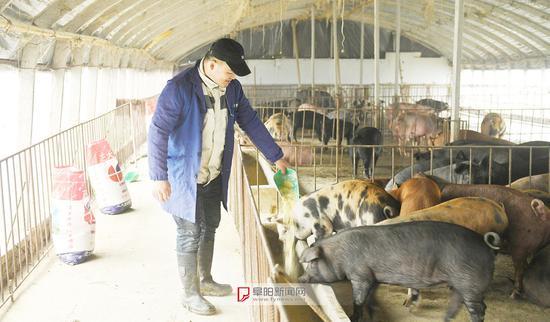 郭强将茶叶和玉米配制的饲料喂给猪