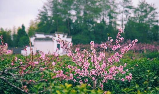 安徽进入赏花季 错过等一年