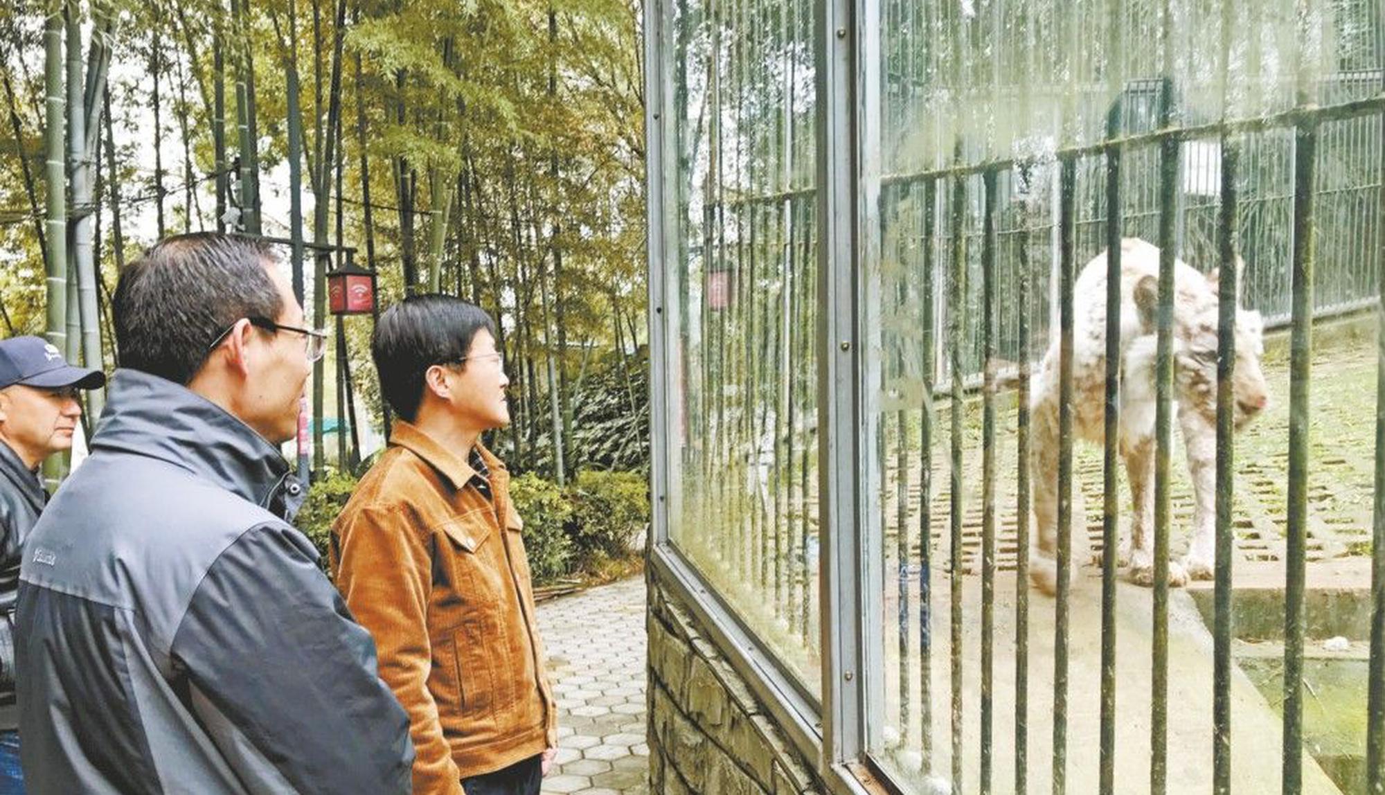 合肥野生动物园专家 受邀来芜给白虎诊病