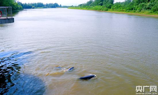 铜陵淡水豚自然保护区内的江豚。(央广网记者 徐鹏 摄)