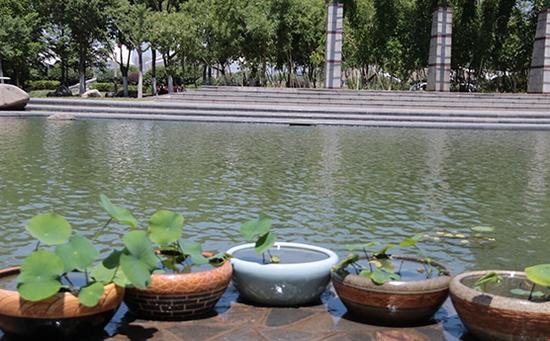 从武汉引进的碗莲种子在翡翠湖公园已培育成功