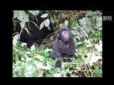 大猩猩幼崽向人们捶胸示威 不料把自己吹倒了