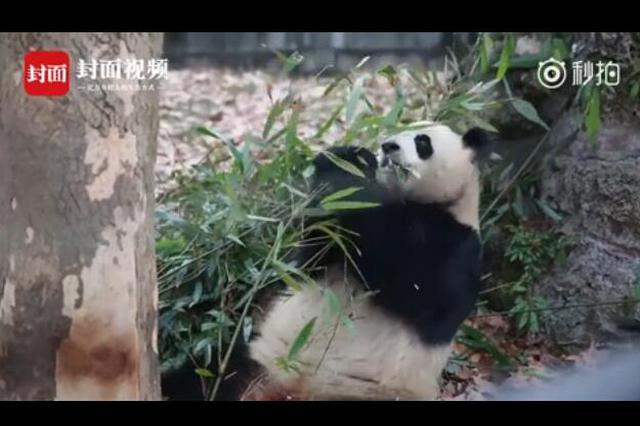 28岁大熊猫量血压 自己主动伸手握采血架