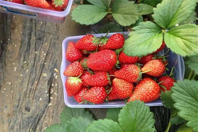 合肥草莓采摘攻略新鲜出炉 附周边线路