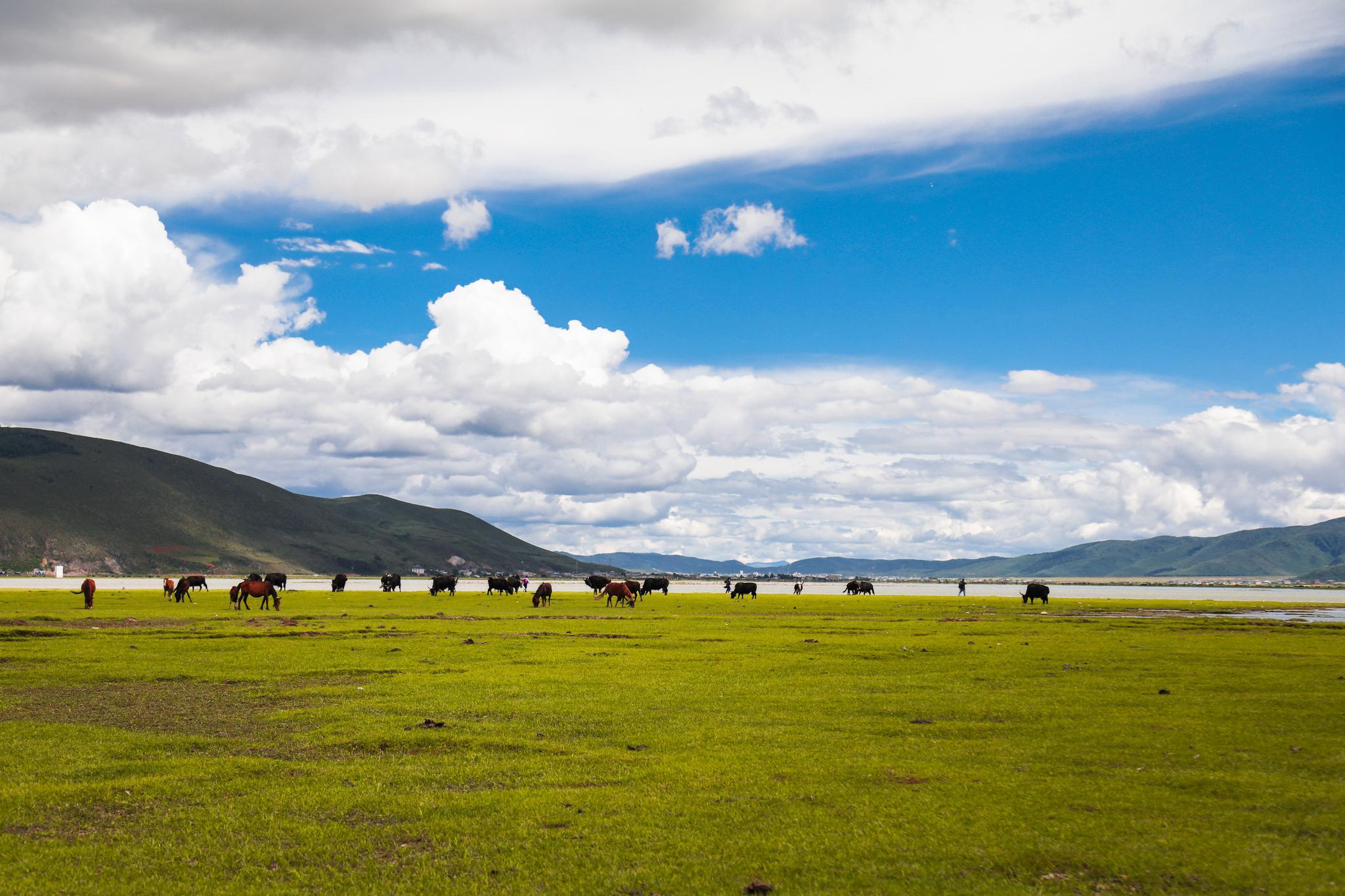 湖边有许多牛、马