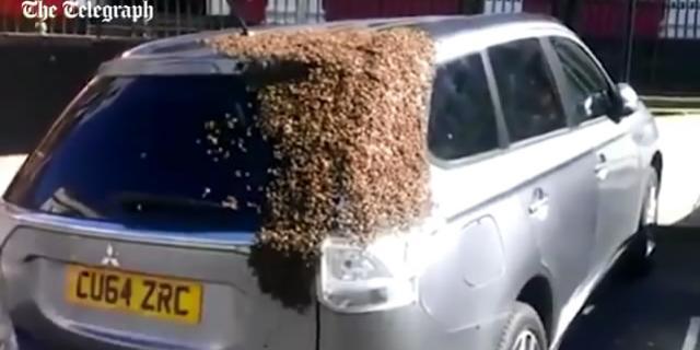 蜂王被关车内 2万蜜蜂狂追两天